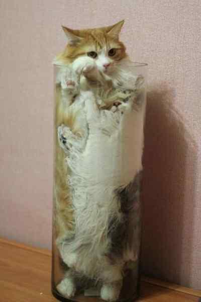 Gatos que se adaptan a cualquier recipiente como si fueran líquidos. 5