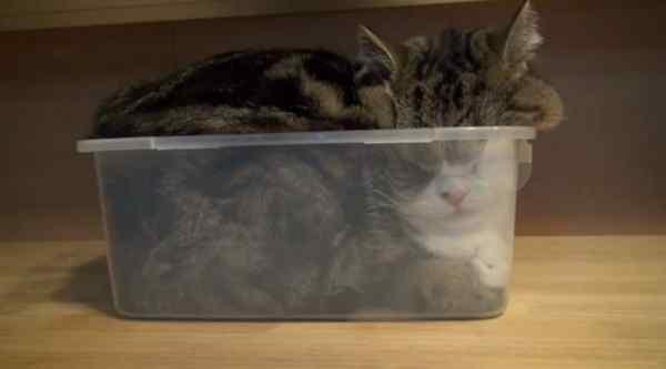Gatos que se adaptan a cualquier recipiente como si fueran líquidos. 6