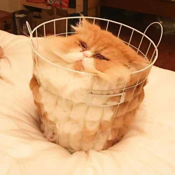 Image12 - Gatos que se adaptan a cualquier recipiente como si fueran líquidos.