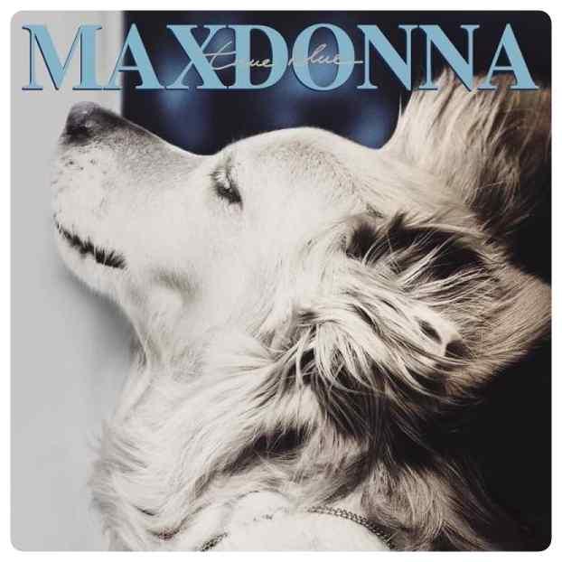 perro imita a madonna 11 - El perro que imita las portadas de Madonna.