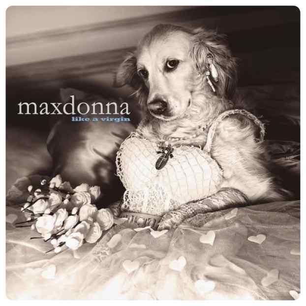 perro imita a madonna 15 - El perro que imita las portadas de Madonna.