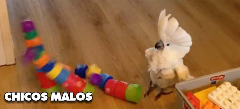 Estos pájaros del vídeo son unos chicos malos