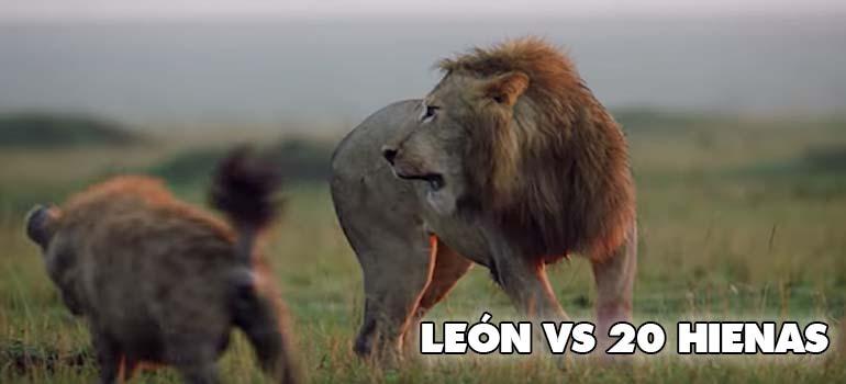 Un León atacado por 20 hienas, descubre como termina todo... 3