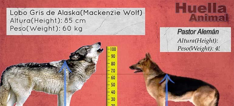 ¿Cuanto mide un Lobo en comparación con un perro? 8