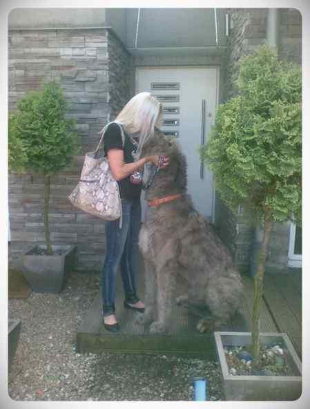 Lobero Irlandés, divertidas fotos de este gigantesco perro. (Nuevas Fotos) 8