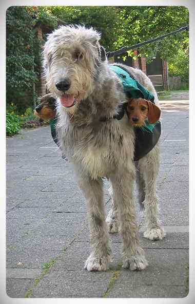 Lobero Irlandés, divertidas fotos de este gigantesco perro. (Nuevas Fotos) 9