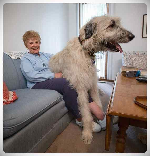Lobero Irlandés, divertidas fotos de este gigantesco perro. (Nuevas Fotos) 10