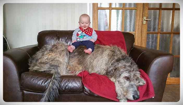 Lobero Irlandés, divertidas fotos de este gigantesco perro. (Nuevas Fotos) 11