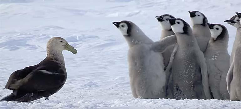 Crias de Pingüino son atacadas pero un héroe sale en su rescate. 6