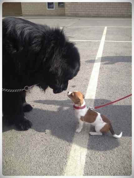 Increibles imágenes de perros de raza Terranova una de las mas grandes del mundo. 8