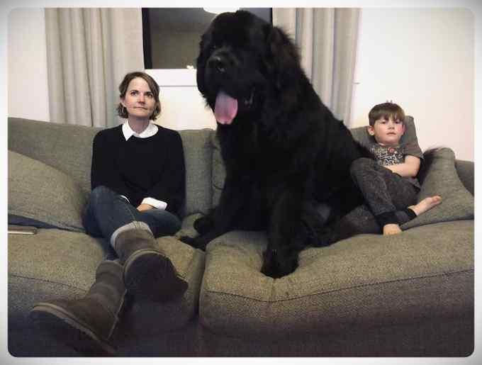 Increibles imágenes de perros de raza Terranova una de las mas grandes del mundo. 10
