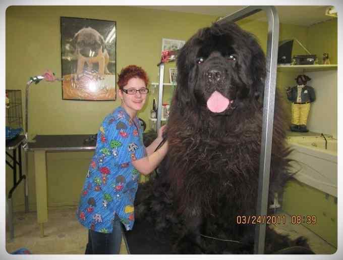 Increibles imágenes de perros de raza Terranova una de las mas grandes del mundo. 11