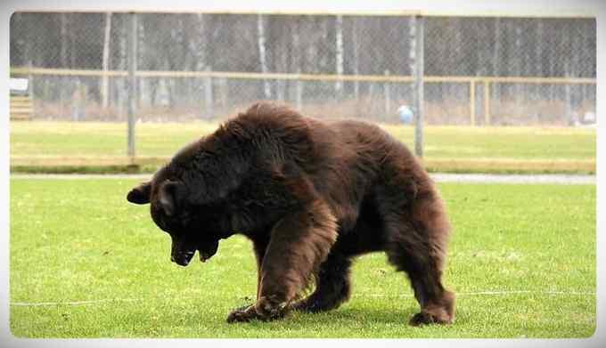 Increibles imágenes de perros de raza Terranova una de las mas grandes del mundo. 4