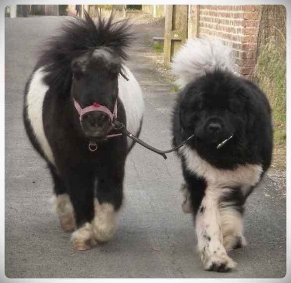 Increibles imágenes de perros de raza Terranova una de las mas grandes del mundo. 5