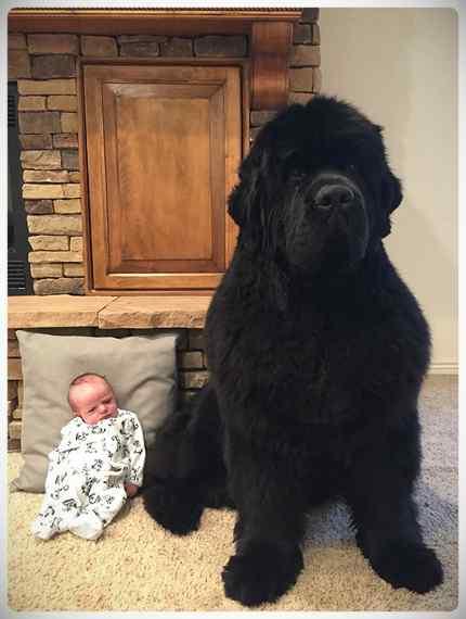 Increibles imágenes de perros de raza Terranova una de las mas grandes del mundo. 7