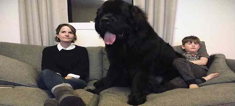 Increibles imágenes de perros de raza Terranova una de las mas grandes del mundo. 1