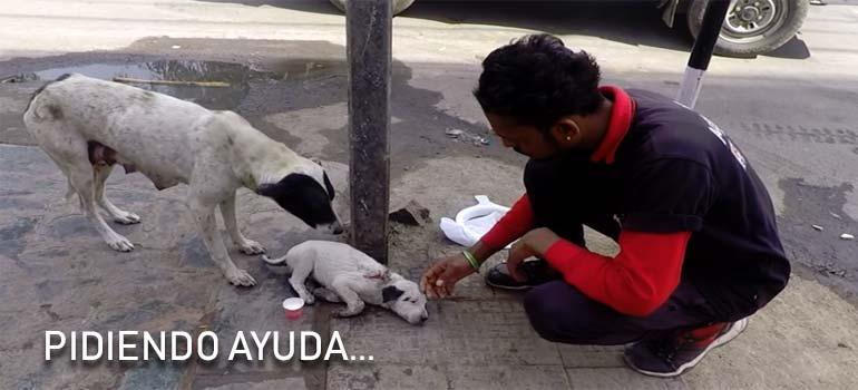Su cachorro esta enfermo y esta perra pide ayuda ladrando. 18