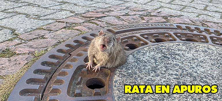 rata salvada por bomberos - Los bomberos salvan a una rata con problemas de sobrepeso.
