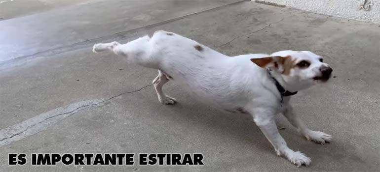 el perro que estira - Este perro estira antes de salir a dar un paseo.