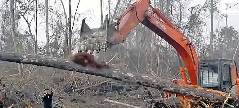 Orangután lucha contra excavadora que esta destrozando su hábitat. 17