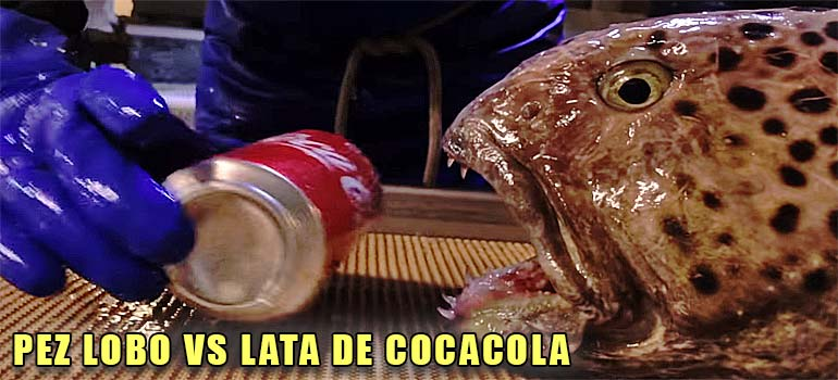 Pez lobo vs lata de Cocacola. 5