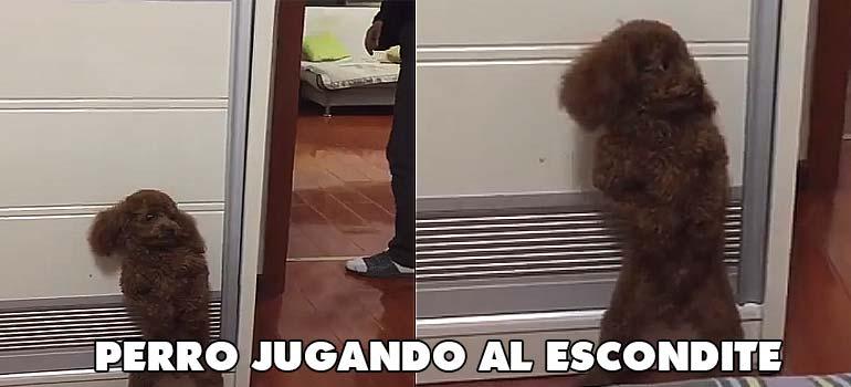 El vídeo del perro que juega al escondite. 8