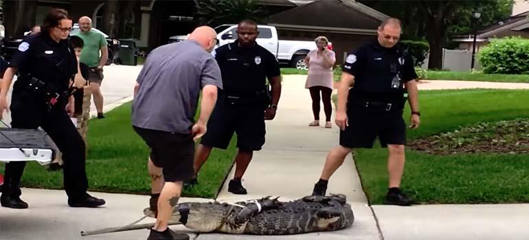 Cocodrilo capturado en la calle, deja KO a dos personas. 4