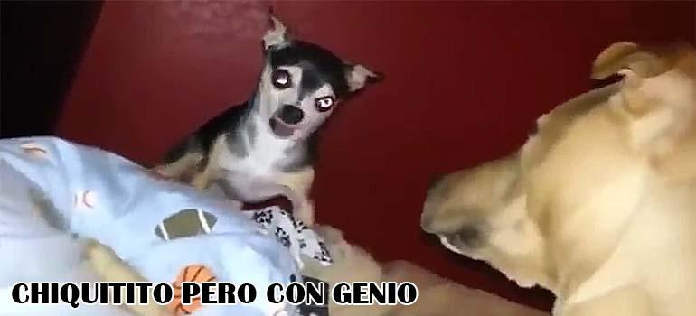 El perro pequeño se pone chulo con su hermano mayor... 5