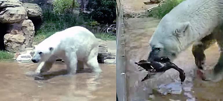 El Oso Polar se come a un pato en el zoo. 13