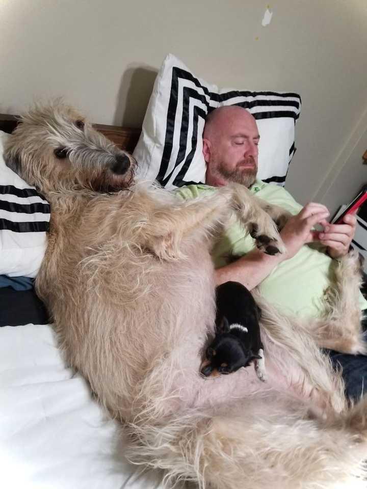 Lobero Irlandés, divertidas fotos de este gigantesco perro. (Nuevas Fotos) 24