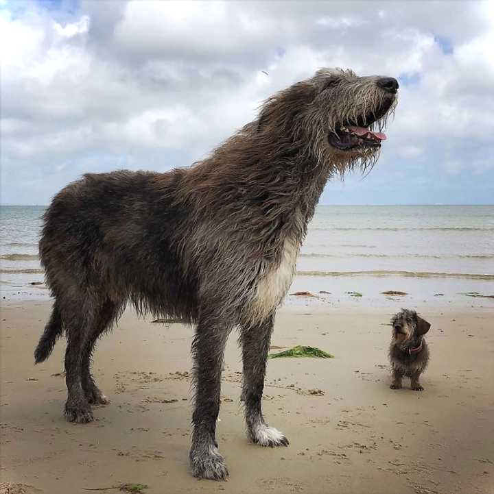 Lobero Irlandés, divertidas fotos de este gigantesco perro. (Nuevas Fotos) 25
