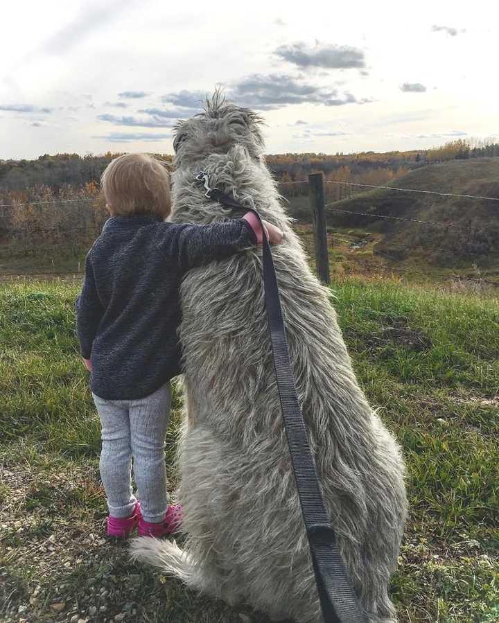 Lobero Irlandés, divertidas fotos de este gigantesco perro. (Nuevas Fotos) 17