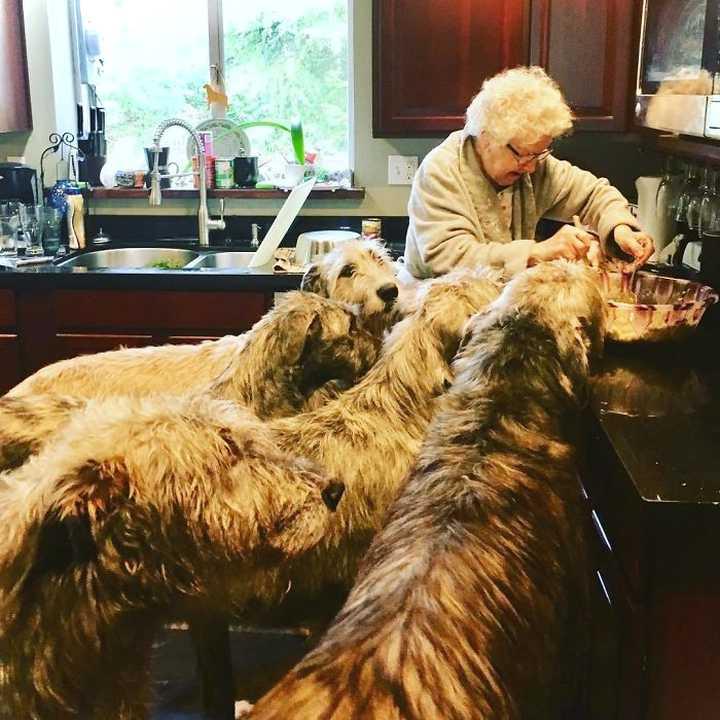Lobero Irlandés, divertidas fotos de este gigantesco perro. (Nuevas Fotos) 18