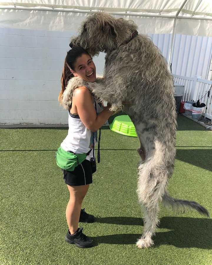 Lobero Irlandés, divertidas fotos de este gigantesco perro. (Nuevas Fotos) 20