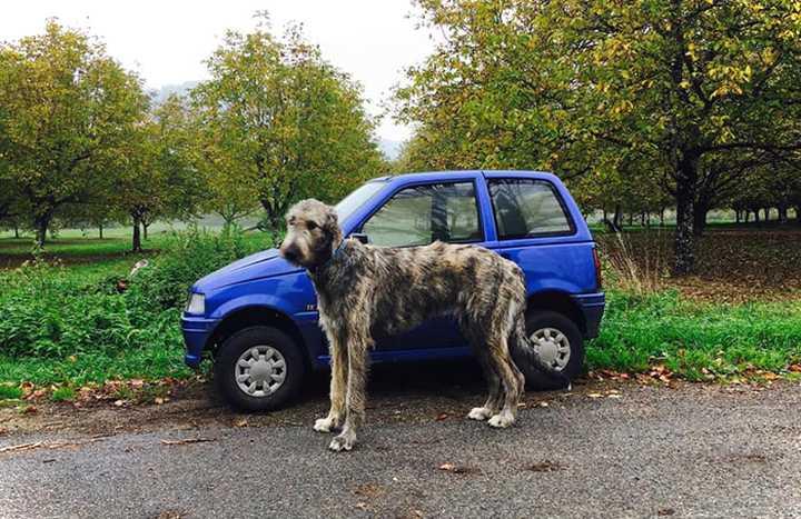 Lobero Irlandés, divertidas fotos de este gigantesco perro. (Nuevas Fotos) 21