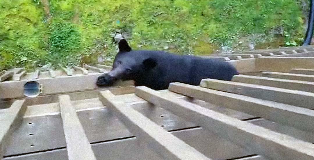 Encuentra un Oso escalando a su terraza. 4