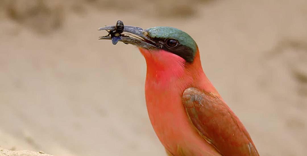 Este pájaro tiene un sistema para comer abejas y no ser picado. 5