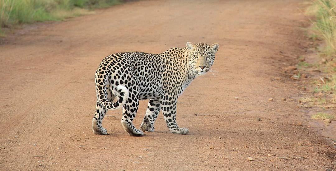 Un leopardo siembra el terror por las calles en la India. 1