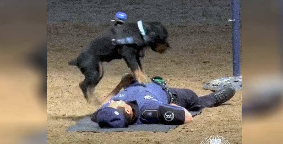 Vídeo de Poncho, el perro que sabe hacer reanimación cardiopulmonar. 1