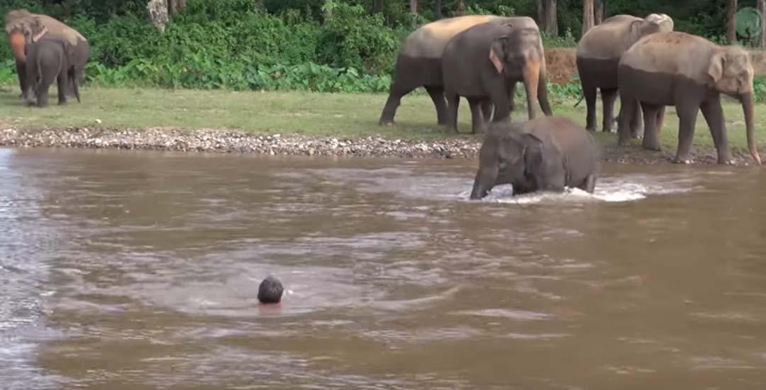 Elefante se mete en un río para rescatar a una persona. 9