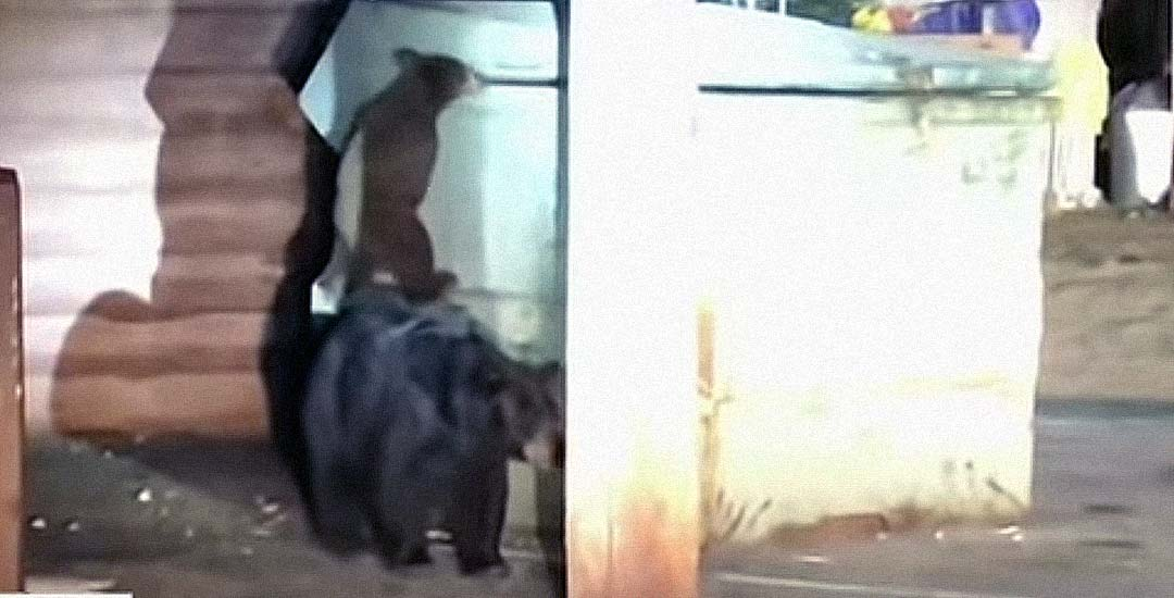 Familia de osos intentando rescatar a una de sus crías. 6