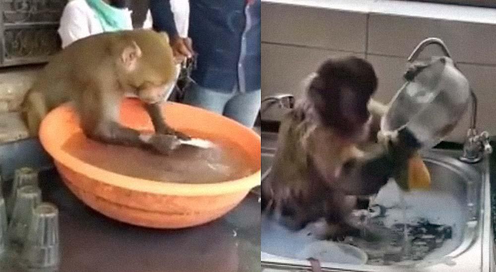 Vienen a quitarnos el trabajo. Monos trabajando de limpia platos 5