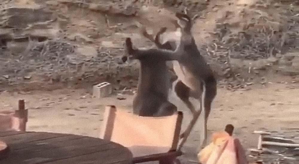 Dos Canguros son grabados mientras se pelean a puñetazo limpio 2