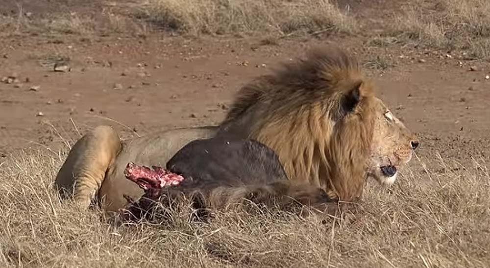 León rompe la columna vertebral a un joven león 5