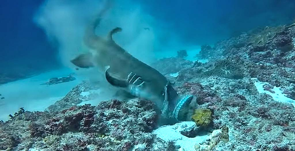 Vídeo de un tiburón atacando a un pulpo y comiéndoselo 11