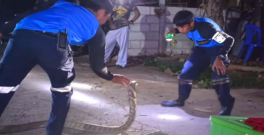 Capturando con la mano una Cobra Real, vídeo grabado con una GoPro 6