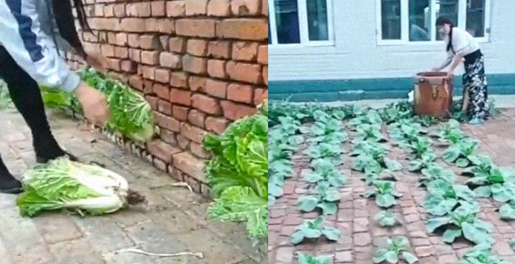 Cultivar verduras entre los ladrillos del suelo y paredes 6