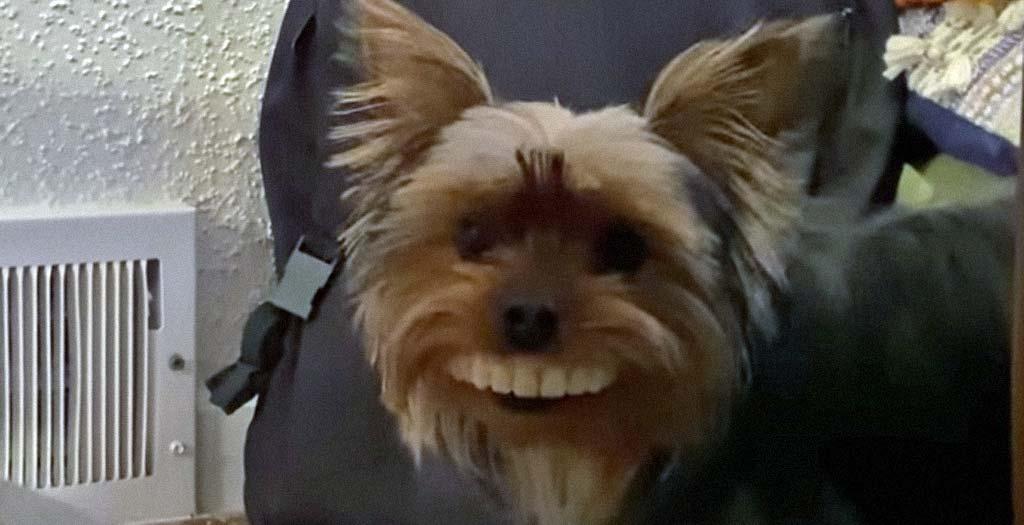 Un simpático Yorkshire, roba la dentadura postiza de su dueña 9
