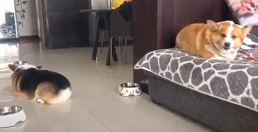 Dos perros que no llevan nada bien la cuarentena juntos 9