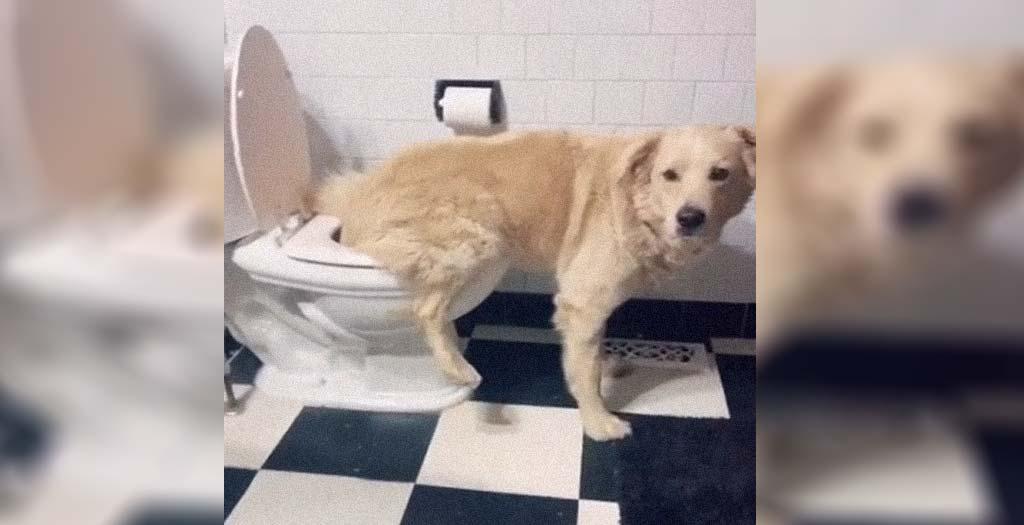 Este perro hace pis en el WC cansado de que lo saquen a la calle todo el día 4